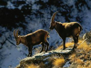 Fauna of the Aosta Valley - Ibex