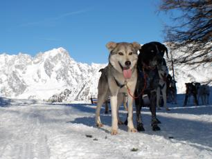 The dogs for dog sledding